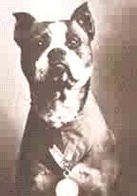 Stubby, the most decorated US Military Dog served 18 months in WWI
