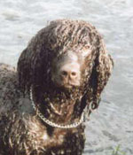 Irish Water Spaniel enjoying a swim